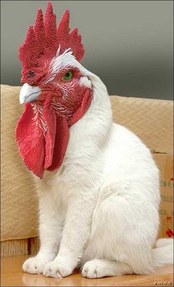 Rouster Cat