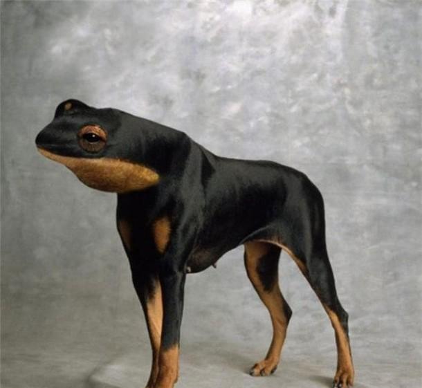 Doberman Frog