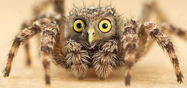 Owl Spider
